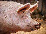 Започва умъртвяването на прасетата от промишления свинекомплекс край шуменското село Никола Козлево
