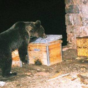 След 11 нападения на мечки, горски поискаха разрешение за отстрел