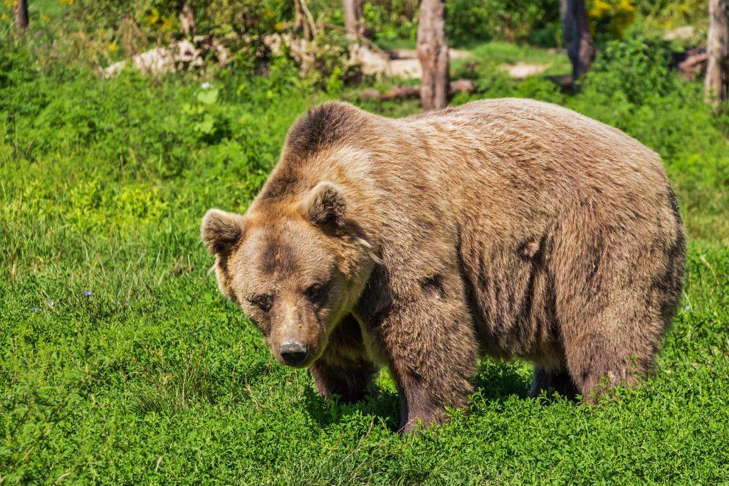 мечка - илюстративна снимка