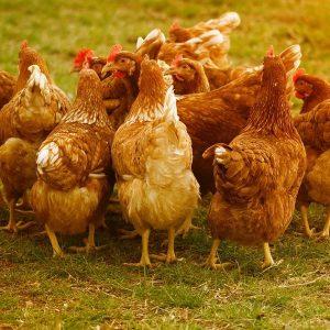 Жители на хасковско село излизат на протест срещу загробването на кокошки с птичи грип до лековит извор